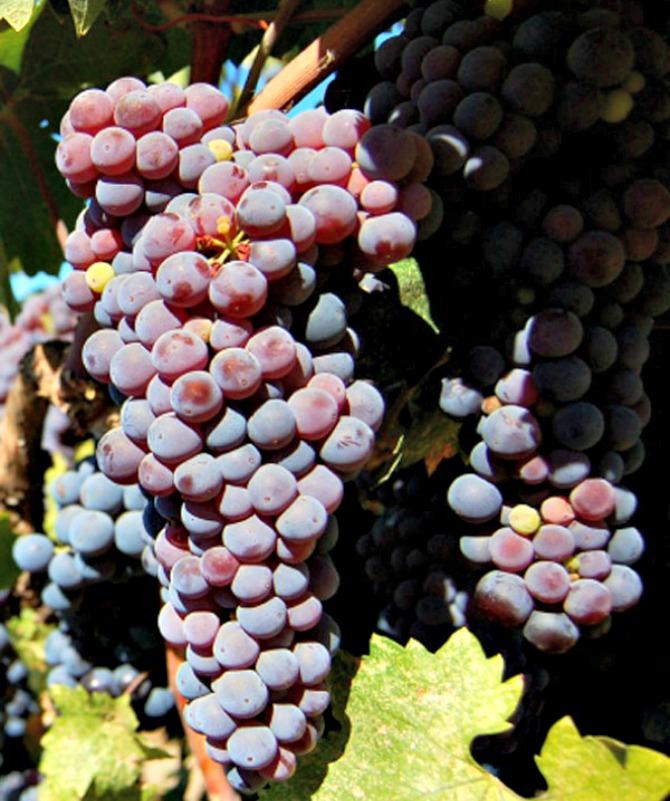crveno grožđe 30 odličnih namirnica za zdravu kožu (1.deo)