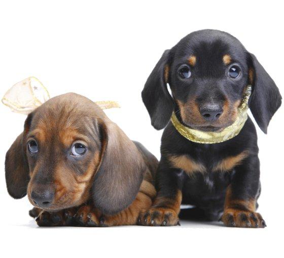 embedded Dachshund Slatka stvorenja: Najpopularnije rase pasa