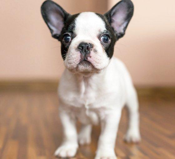 embedded French Bulldog puppy Slatka stvorenja: Najpopularnije rase pasa