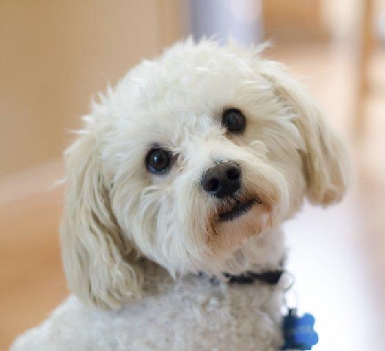 embedded Maltipoo Slatka stvorenja: Najpopularnije rase pasa