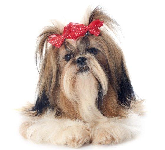 embedded Shih Tzu Slatka stvorenja: Najpopularnije rase pasa