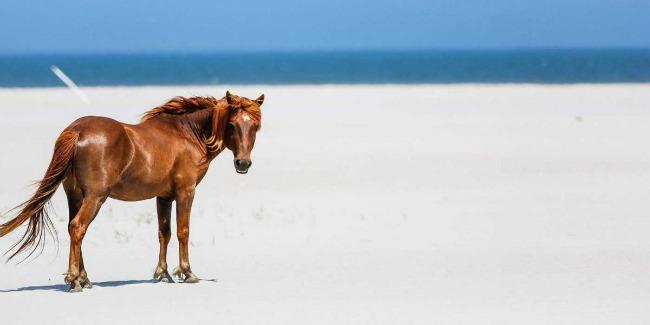 assateague beach konj Medeni mesec na amerčkim obalama