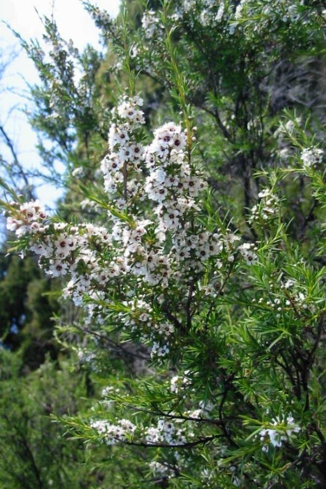 sest biljaka idealnih za negu koze cvet caja Šest biljaka idealnih za negu kože