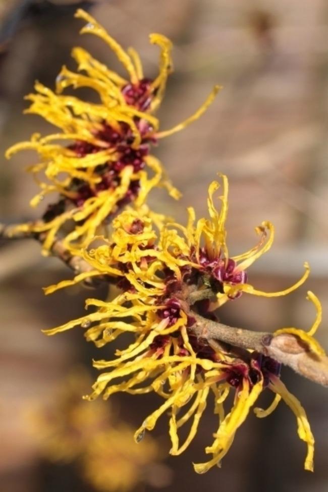 sest biljaka idealnih za negu koze divlji lesnik Šest biljaka idealnih za negu kože