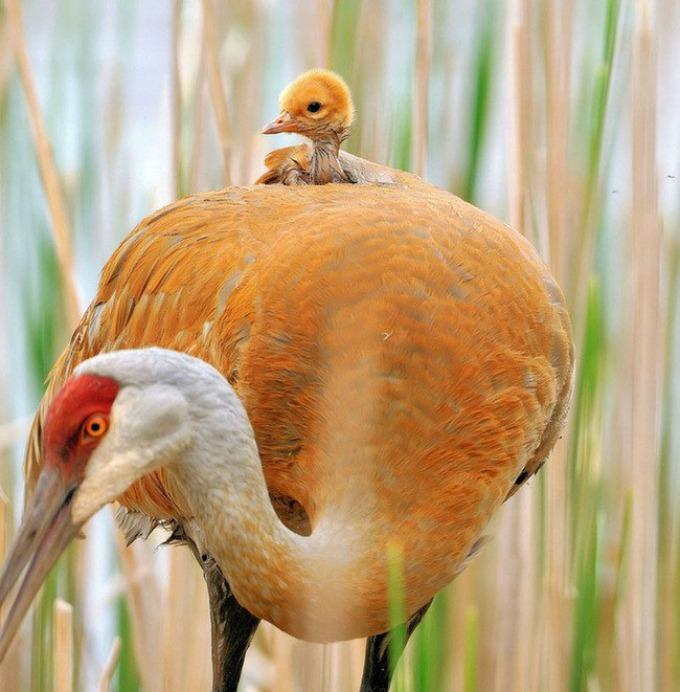 caplja I životinje su brižni roditelji