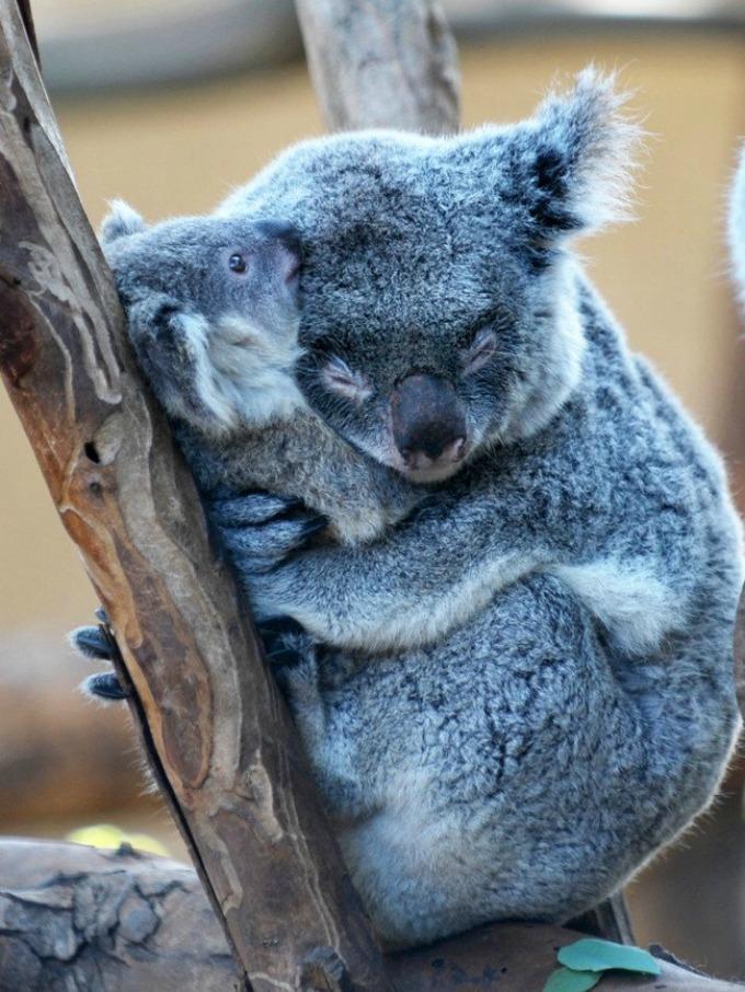 koale I životinje su brižni roditelji