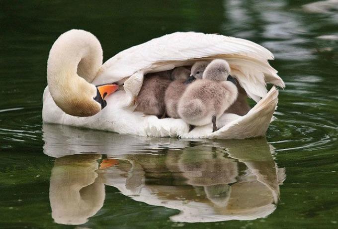 labud I životinje su brižni roditelji