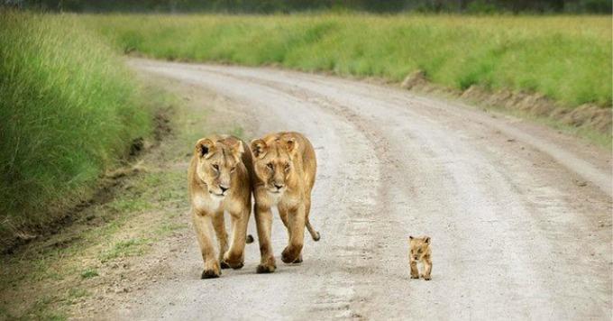 lavovi I životinje su brižni roditelji